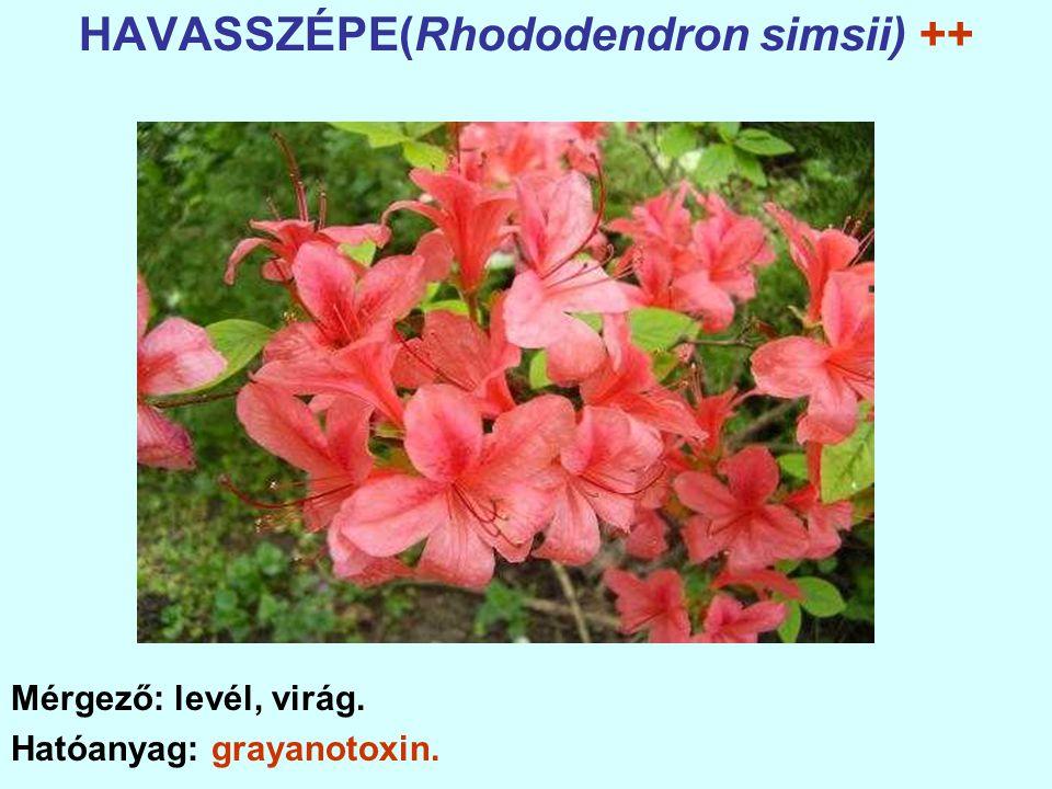 HAVASSZÉPE(Rhododendron simsii) ++ Mérgező: levél, virág. Hatóanyag: grayanotoxin.