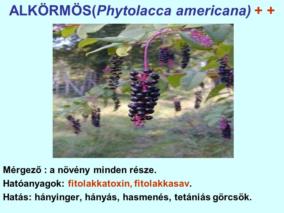 LEANDER(Nerium oleander) + + + + Mérgező: a növény minden része. Hatóanyagok: oleandrin, neriin.