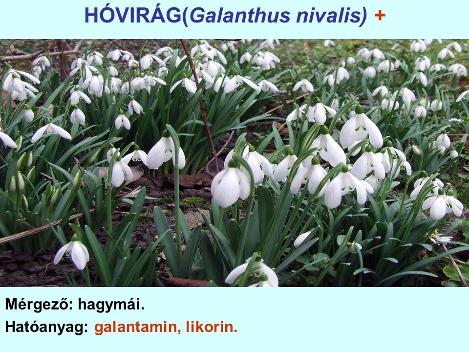 HÓVIRÁG(Galanthus nivalis) + Mérgező: hagymái. Hatóanyag: galantamin, likorin.