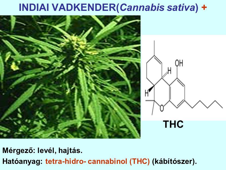 INDIAI VADKENDER(Cannabis sativa) + Mérgező: levél, hajtás.