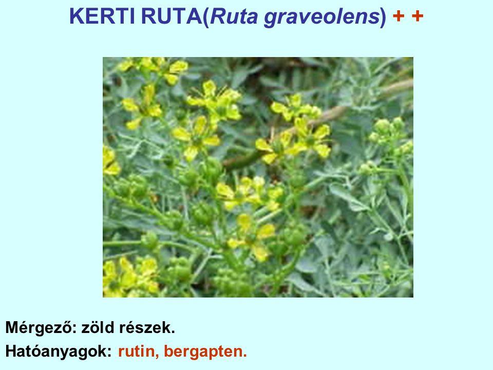 KERTI RUTA(Ruta graveolens) + + Mérgező: zöld részek. Hatóanyagok: rutin, bergapten.