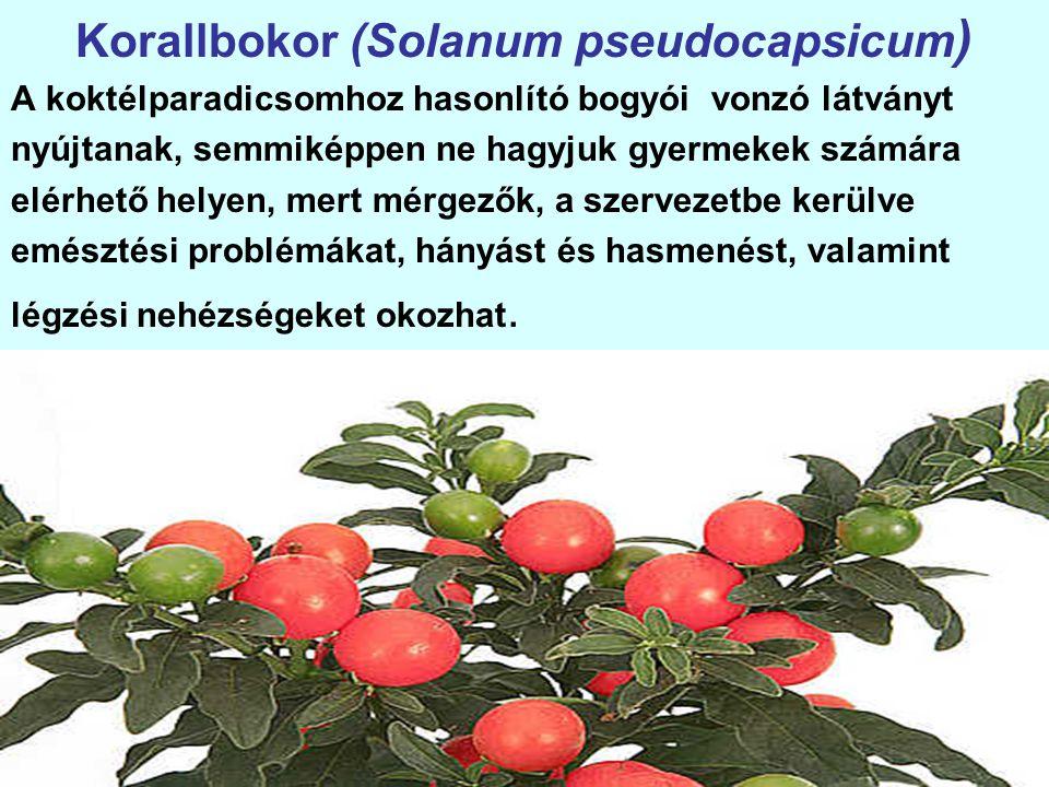 Korallbokor (Solanum pseudocapsicum ) A koktélparadicsomhoz hasonlító bogyói vonzó látványt nyújtanak, semmiképpen ne hagyjuk gyermekek számára elérhető helyen, mert mérgezők, a szervezetbe kerülve emésztési problémákat, hányást és hasmenést, valamint légzési nehézségeket okozhat.