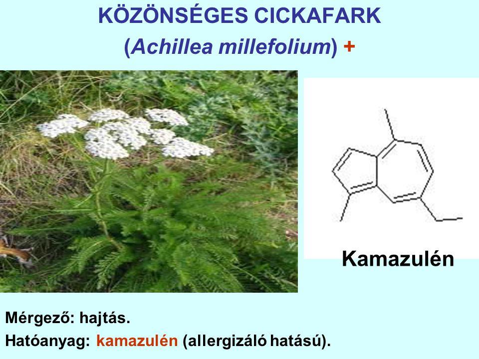 KÖZÖNSÉGES CICKAFARK (Achillea millefolium) + Mérgező: hajtás.