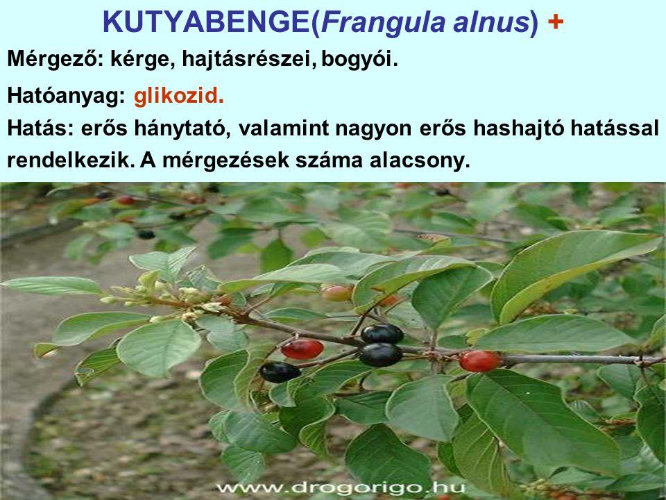 KUTYABENGE(Frangula alnus) + Mérgező: kérge, hajtásrészei, bogyói.
