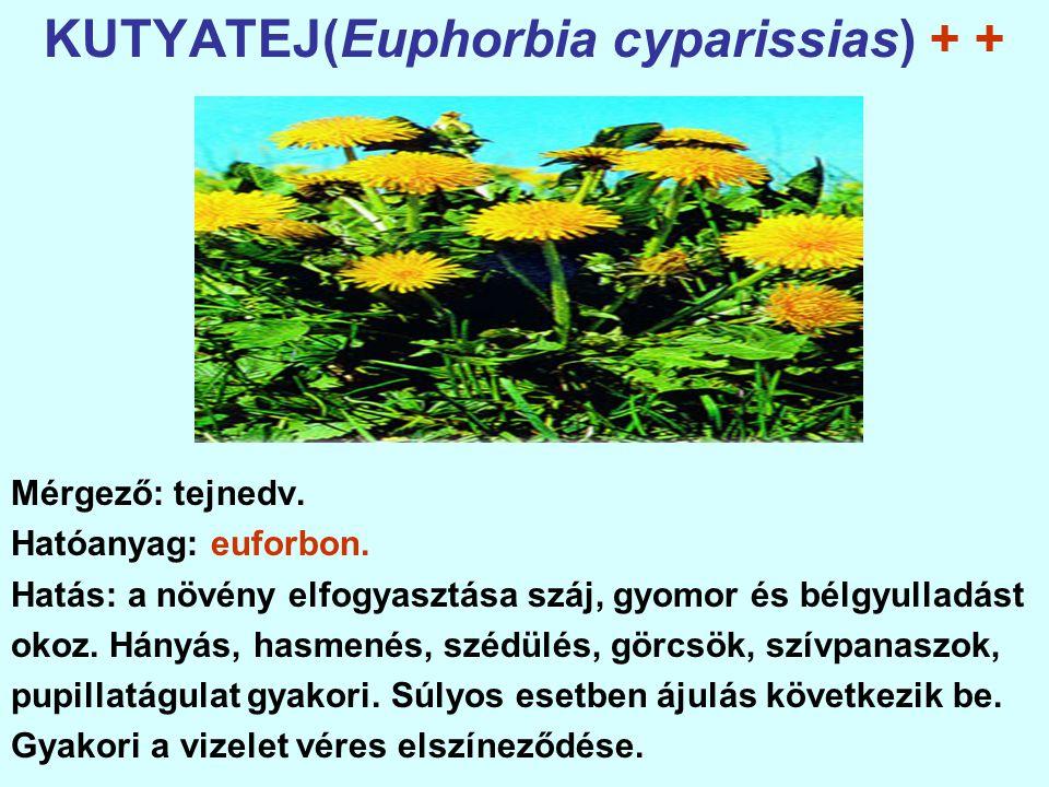 KUTYATEJ(Euphorbia cyparissias) + + Mérgező: tejnedv.