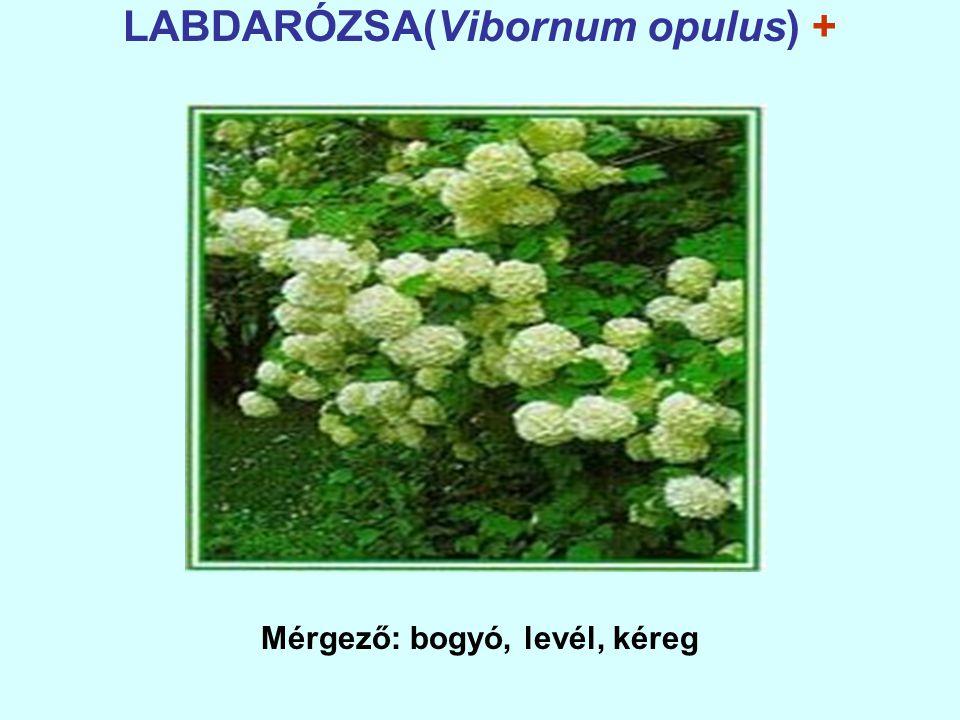 LABDARÓZSA(Vibornum opulus) + Mérgező: bogyó, levél, kéreg
