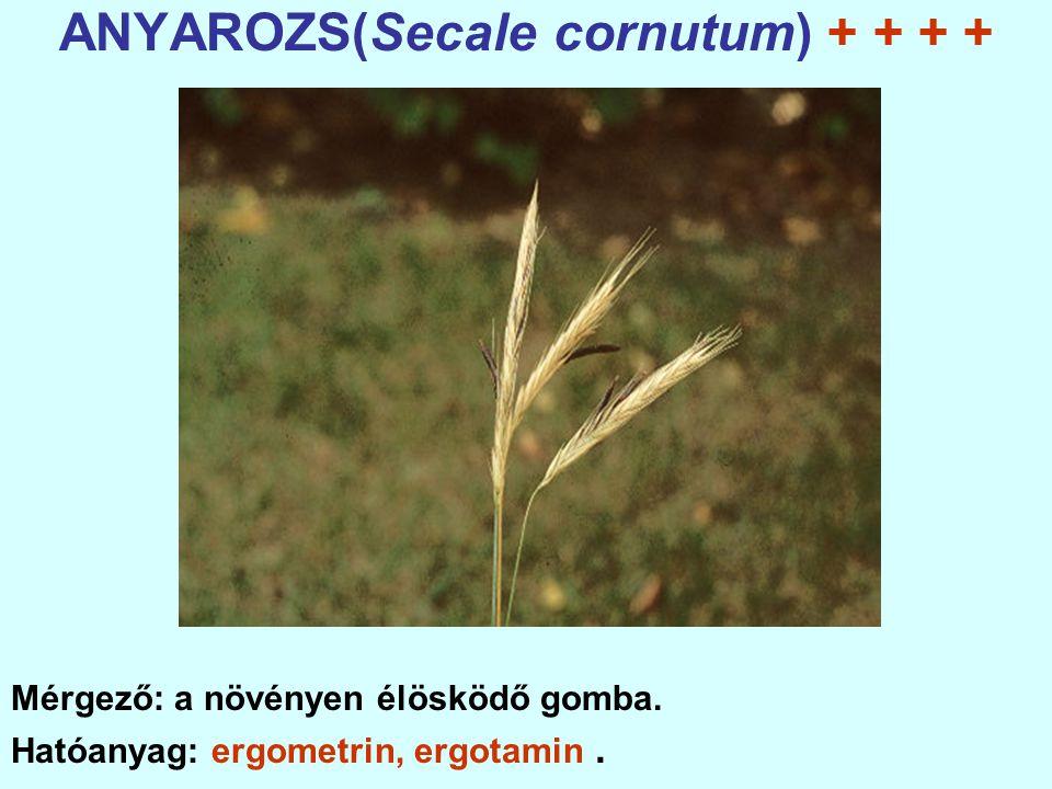 ANYAROZS(Secale cornutum) + + + + Mérgező: a növényen élösködő gomba.