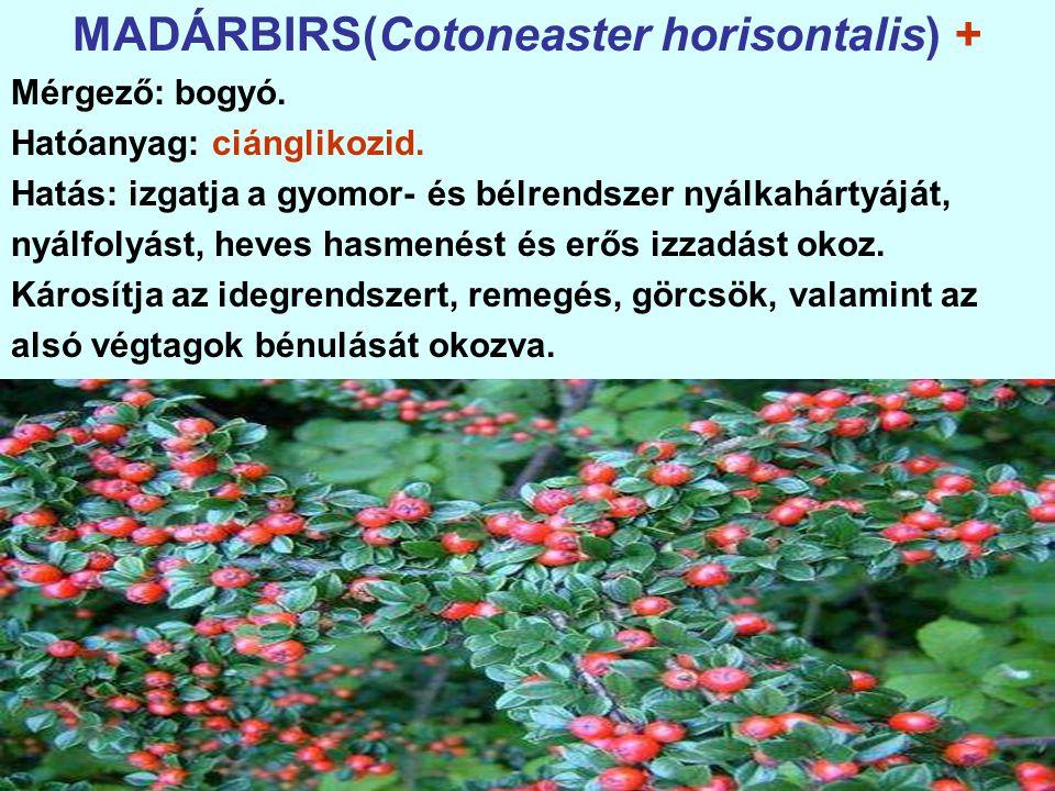 MADÁRBIRS(Cotoneaster horisontalis) + Mérgező: bogyó.