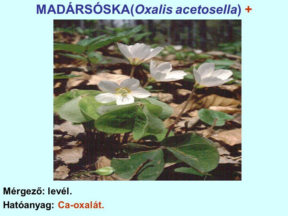 MADÁRSÓSKA(Oxalis acetosella) + Mérgező: levél. Hatóanyag: Ca-oxalát.