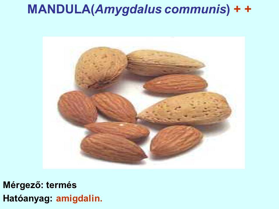 MANDULA(Amygdalus communis) + + Mérgező: termés Hatóanyag: amigdalin.