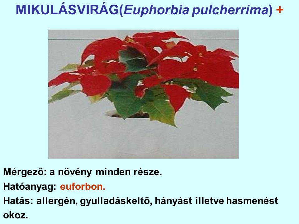 MIKULÁSVIRÁG(Euphorbia pulcherrima) + Mérgező: a növény minden része.