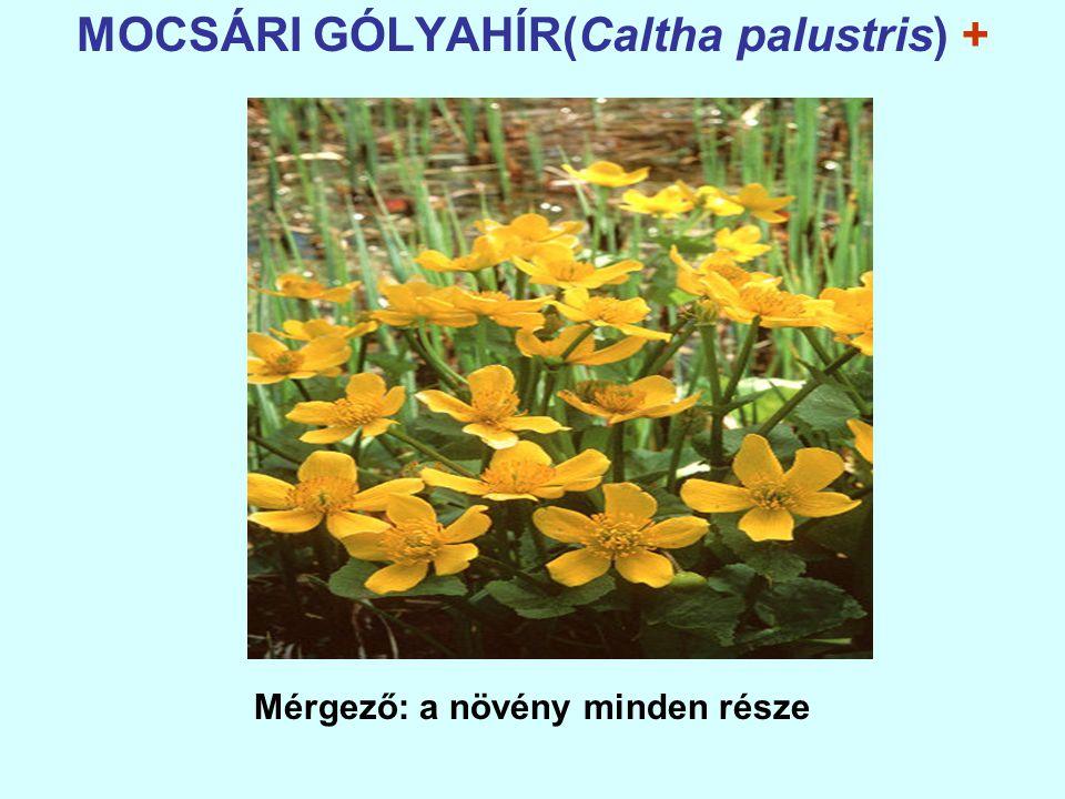 MOCSÁRI GÓLYAHÍR(Caltha palustris) + Mérgező: a növény minden része