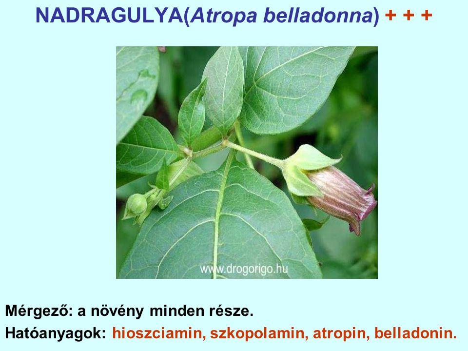 NADRAGULYA(Atropa belladonna) + + + Mérgező: a növény minden része.