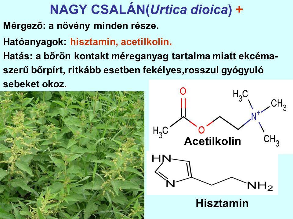 NAGY CSALÁN(Urtica dioica) + Mérgező: a növény minden része.