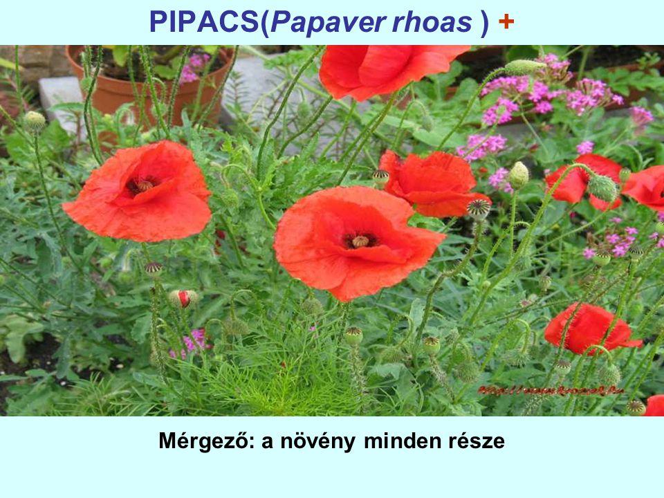 PIPACS(Papaver rhoas ) + Mérgező: a növény minden része