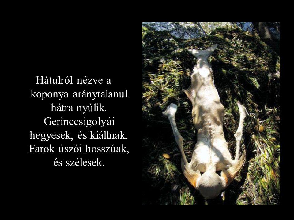 Hátulról nézve a koponya aránytalanul hátra nyúlik. Gerinccsigolyái hegyesek, és kiállnak. Farok úszói hosszúak, és szélesek.