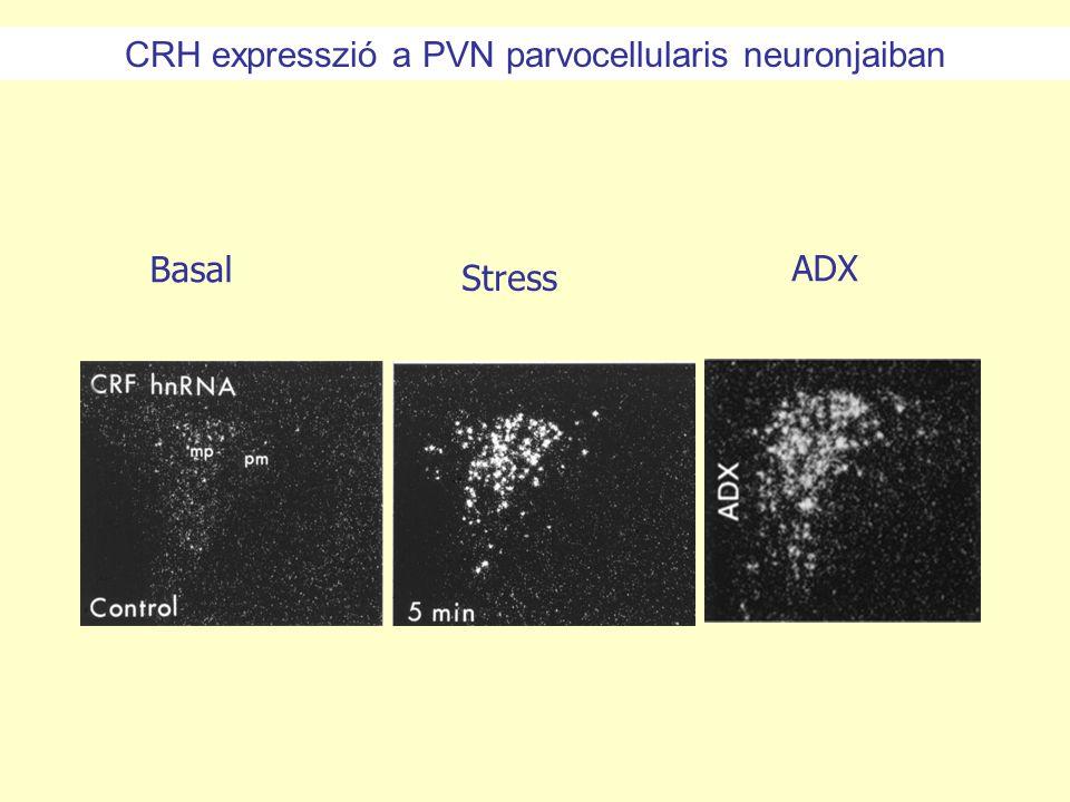 Stress BasalADX CRH expresszió a PVN parvocellularis neuronjaiban