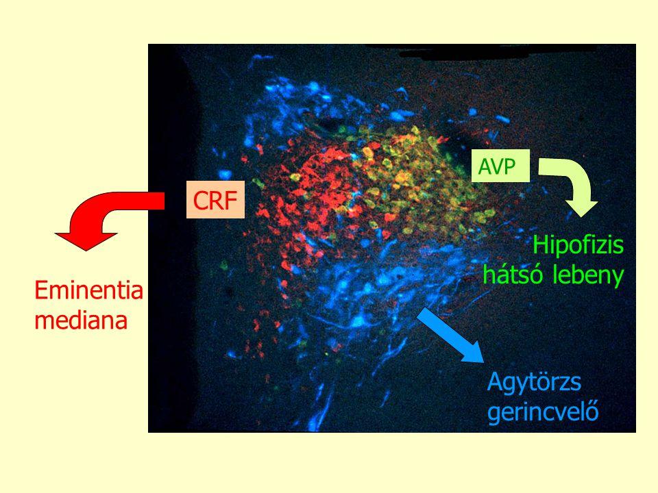 AVP Hipofizis hátsó lebeny Agytörzs gerincvelő CRF Eminentia mediana