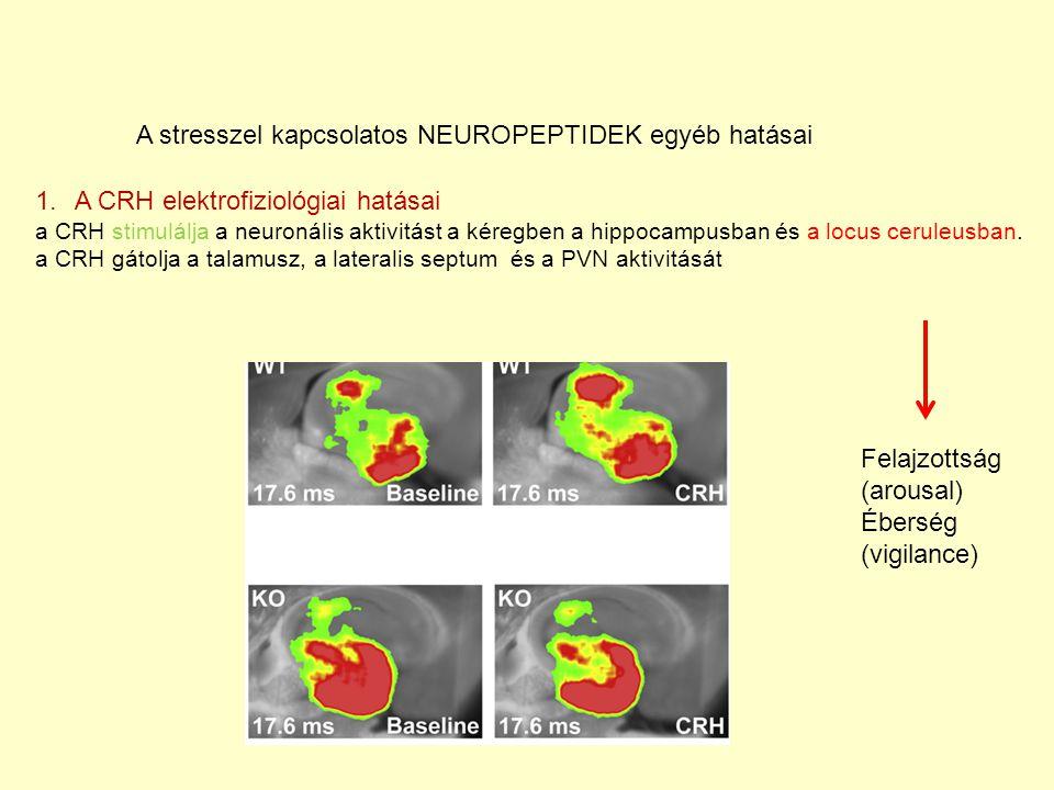 A stresszel kapcsolatos NEUROPEPTIDEK egyéb hatásai 1.A CRH elektrofiziológiai hatásai a CRH stimulálja a neuronális aktivitást a kéregben a hippocampusban és a locus ceruleusban.