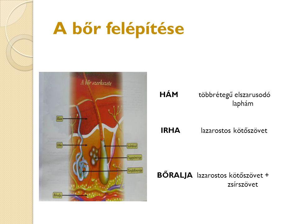 A bőr felépítése HÁM többrétegű elszarusodó laphám IRHA lazarostos kötőszövet BŐRALJA lazarostos kötőszövet + zsírszövet