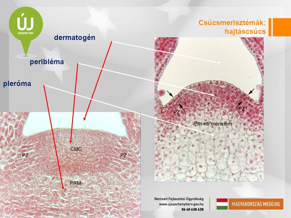 Csúcsmerisztémák: hajtáscsúcs dermatogén peribléma pleróma