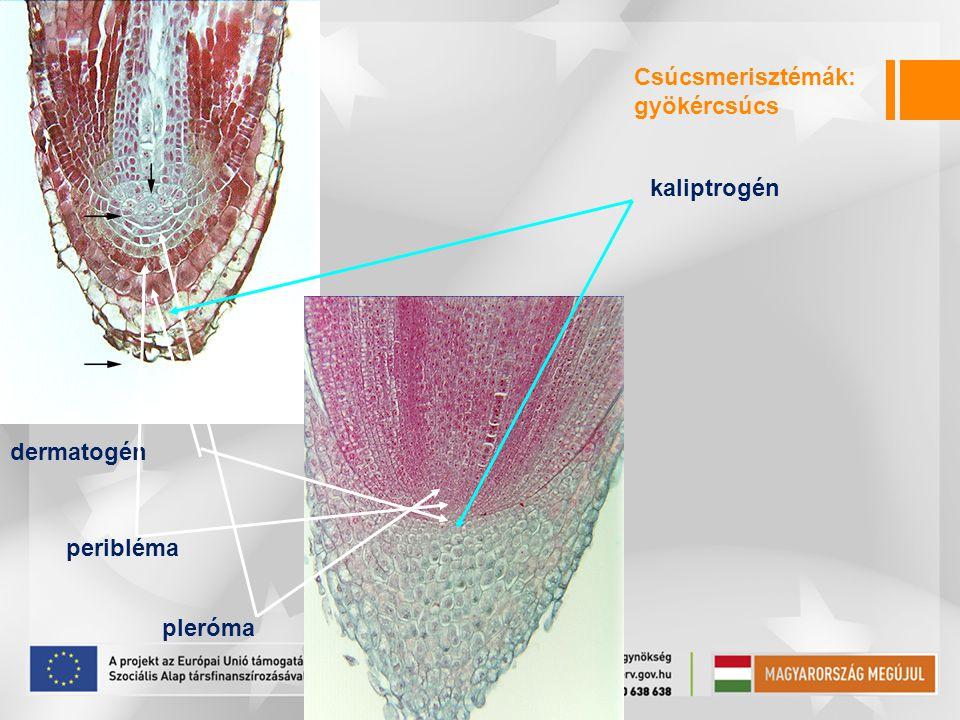 Csúcsmerisztémák: gyökércsúcs kaliptrogén dermatogén peribléma pleróma
