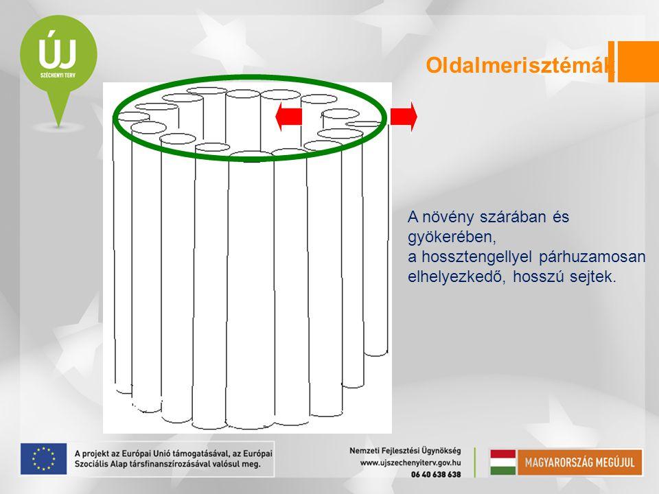 Oldalmerisztémák A növény szárában és gyökerében, a hossztengellyel párhuzamosan elhelyezkedő, hosszú sejtek.