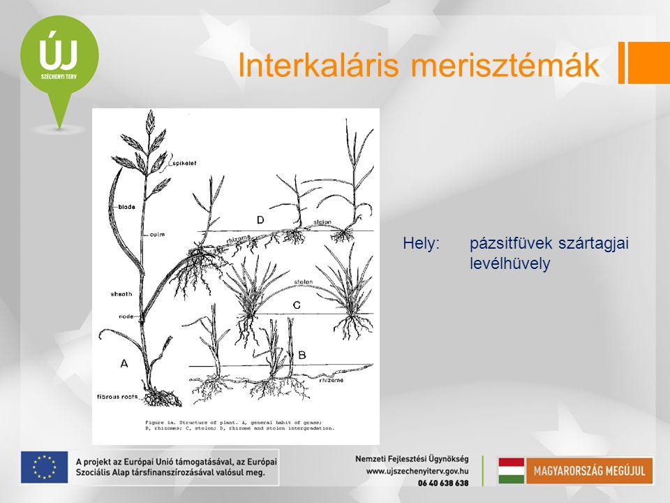 Interkaláris merisztémák Hely:pázsitfüvek szártagjai levélhüvely