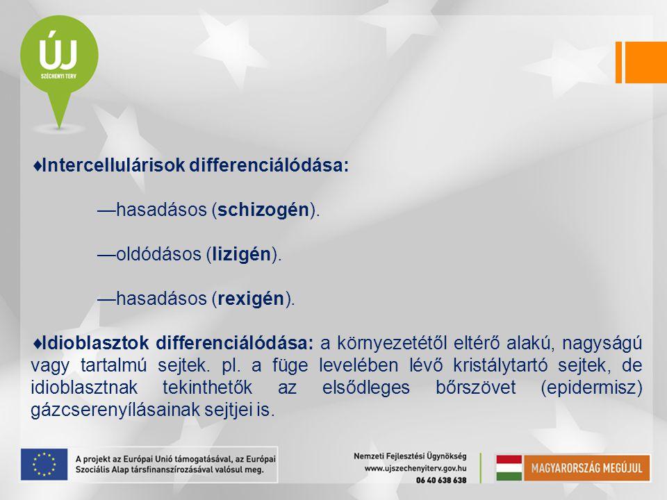  Intercellulárisok differenciálódása: —hasadásos (schizogén). —oldódásos (lizigén). —hasadásos (rexigén).  Idioblasztok differenciálódása: a környez