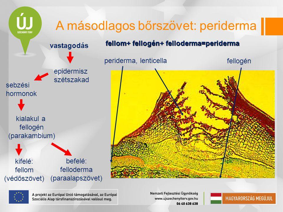 A másodlagos bőrszövet: periderma periderma, lenticella vastagodás epidermisz szétszakad sebzési hormonok kialakul a fellogén (parakambium) kifelé: fe