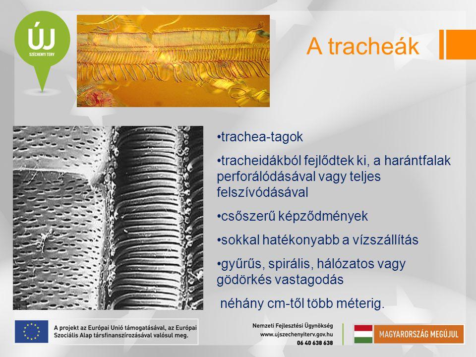 trachea-tagok tracheidákból fejlődtek ki, a harántfalak perforálódásával vagy teljes felszívódásával csőszerű képződmények sokkal hatékonyabb a vízszá