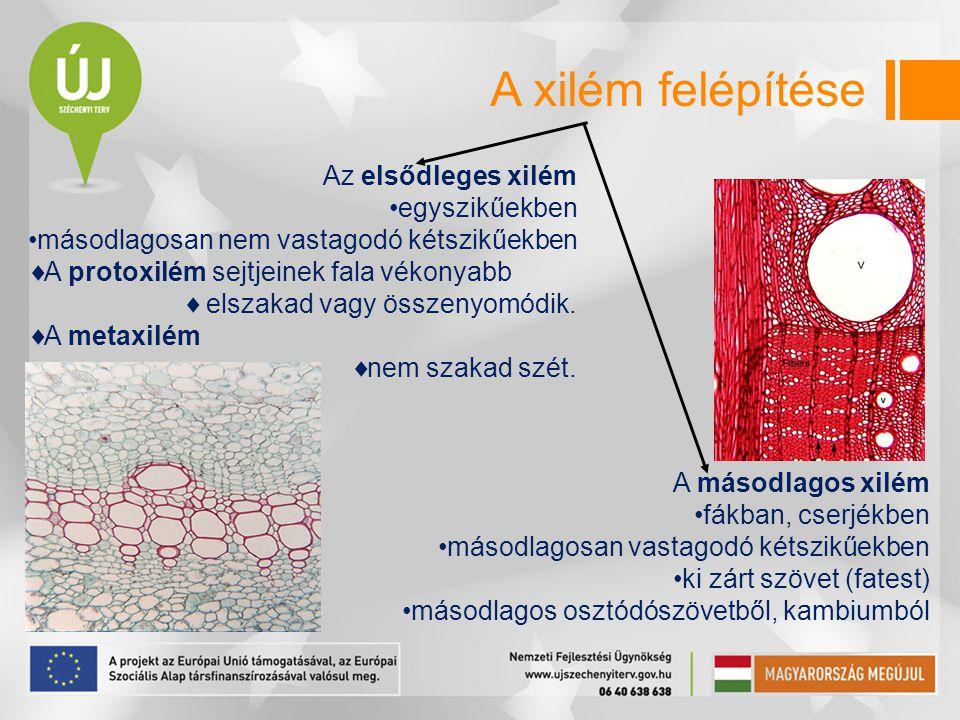 A xilém felépítése Az elsődleges xilém egyszikűekben másodlagosan nem vastagodó kétszikűekben  A protoxilém sejtjeinek fala vékonyabb  elszakad vagy
