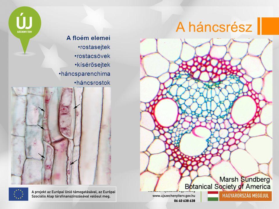 A háncsrész (floém) A floém elemei rostasejtek rostacsövek kísérősejtek háncsparenchima háncsrostok