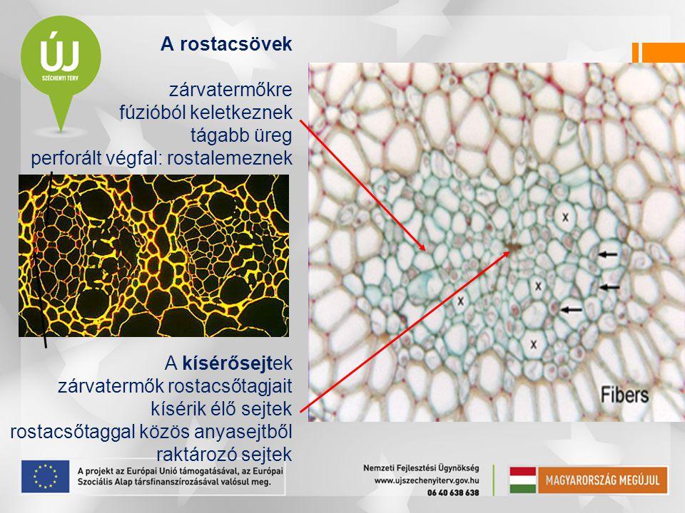 A rostacsövek zárvatermőkre fúzióból keletkeznek tágabb üreg perforált végfal: rostalemeznek A kísérősejtek zárvatermők rostacsőtagjait kísérik élő se