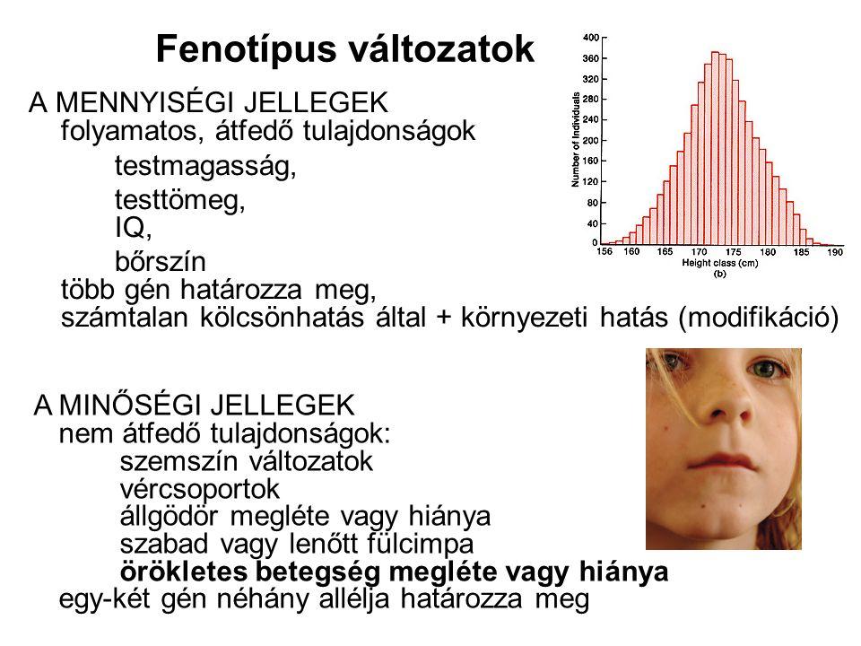 A MENNYISÉGI JELLEGEK folyamatos, átfedő tulajdonságok testmagasság, testtömeg, IQ, bőrszín több gén határozza meg, számtalan kölcsönhatás által + kör