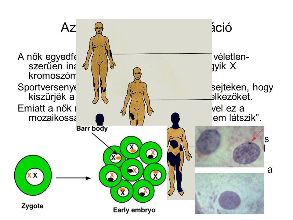 Az X kromoszóma-inaktiváció A nők egyedfejlődésének korai szakaszában véletlen- szerűen inaktiválódik minden sejtben az egyik X kromoszóma: szexkromat