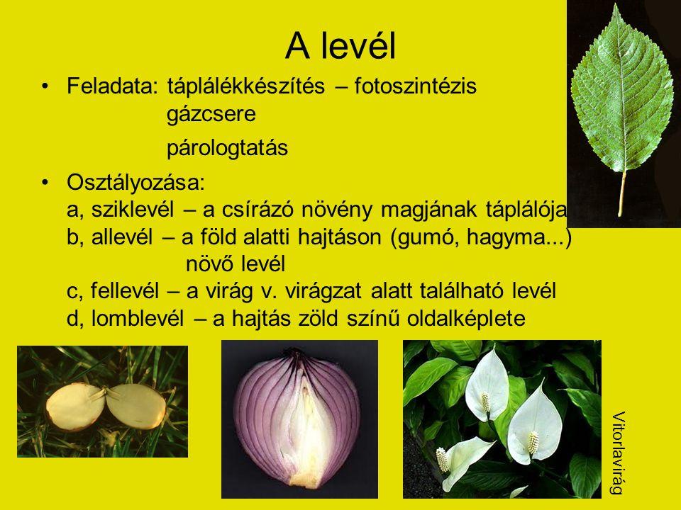 A levél Feladata: táplálékkészítés – fotoszintézis gázcsere párologtatás Osztályozása: a, sziklevél – a csírázó növény magjának táplálója b, allevél – a föld alatti hajtáson (gumó, hagyma...) növő levél c, fellevél – a virág v.