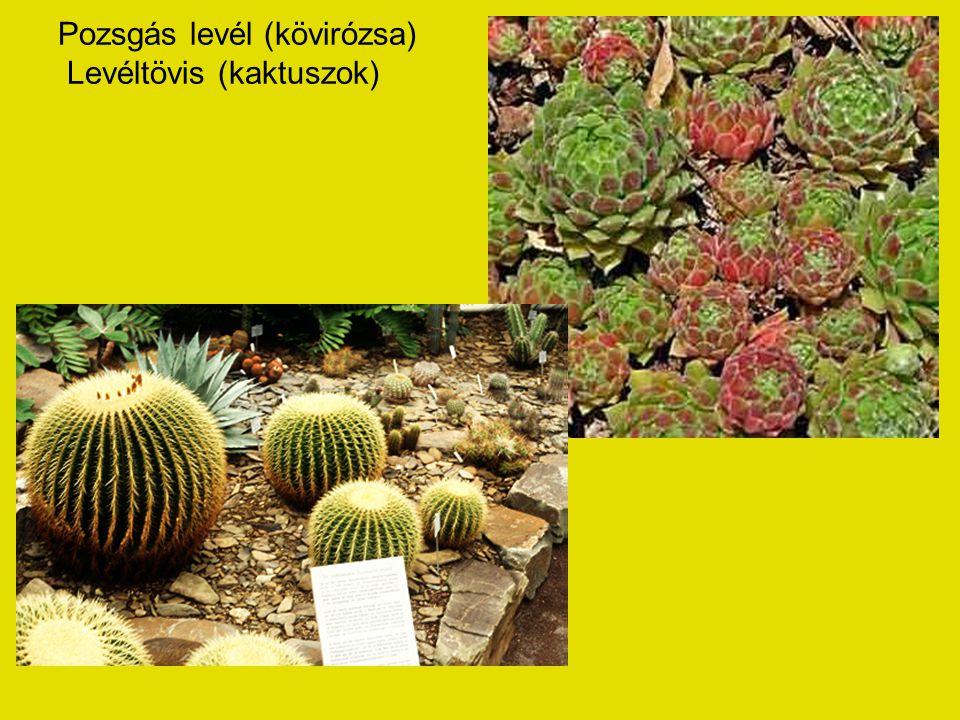 Pozsgás levél (kövirózsa) Levéltövis (kaktuszok)