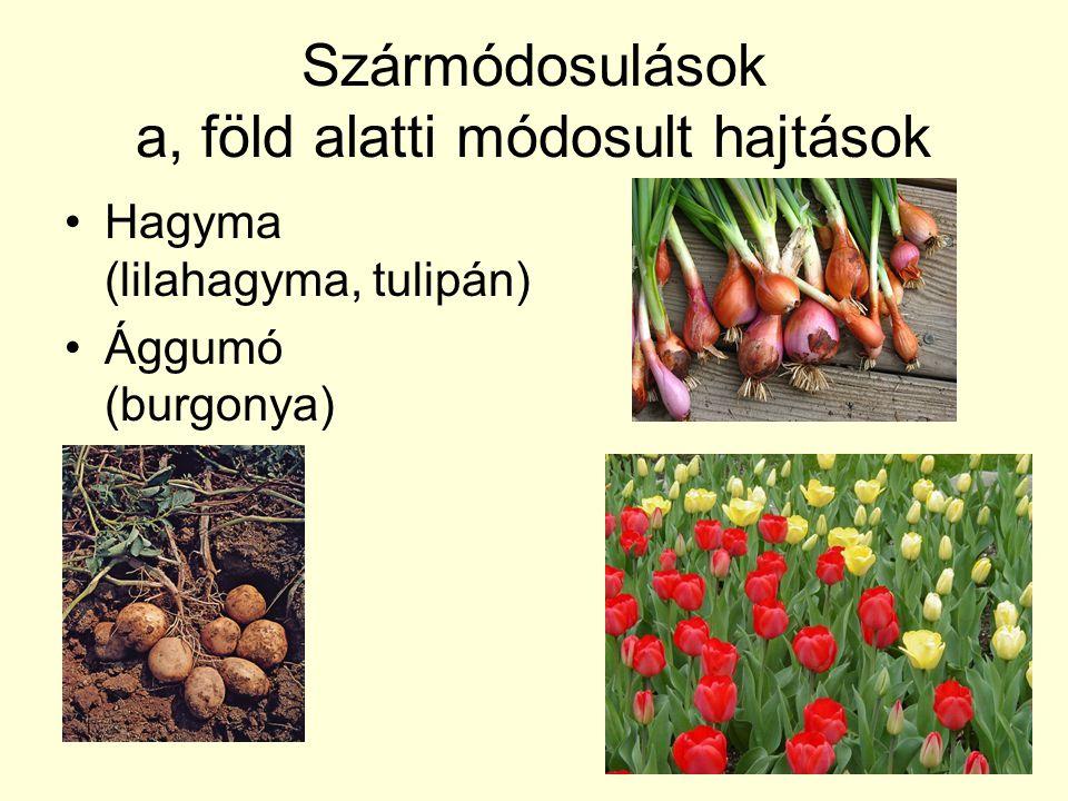 Szármódosulások a, föld alatti módosult hajtások Hagyma (lilahagyma, tulipán) Ággumó (burgonya)