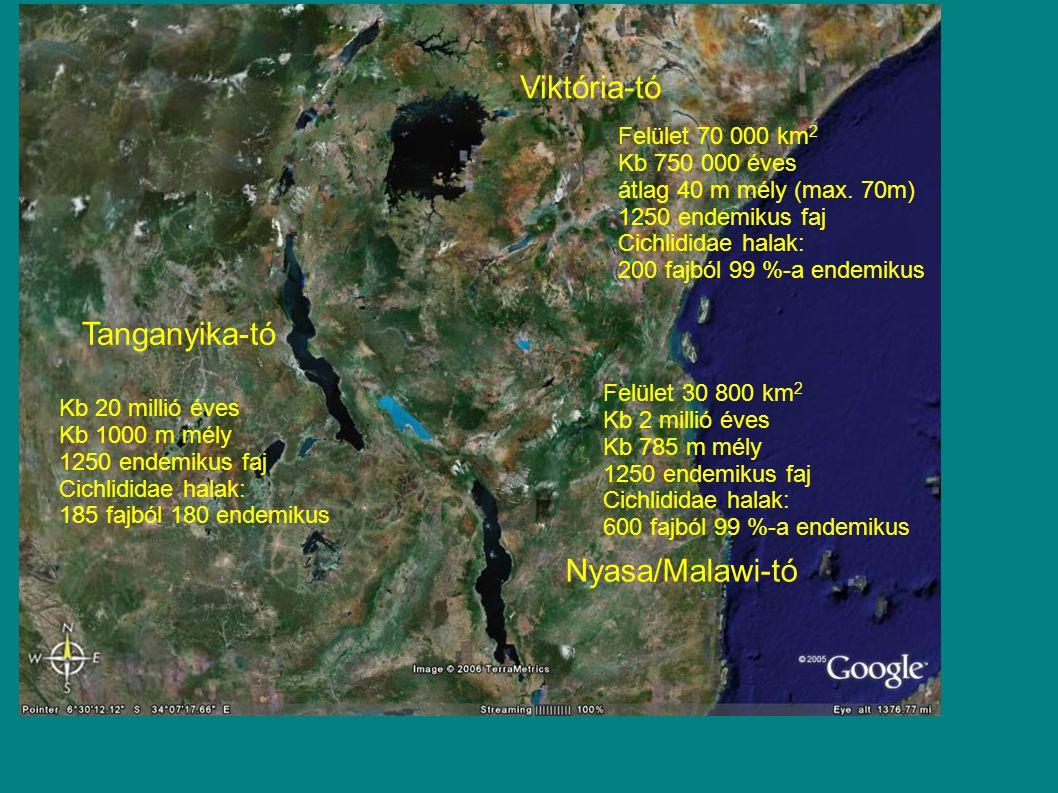 Viktória-tó Tanganyika-tó Nyasa/Malawi-tó Kb 20 millió éves Kb 1000 m mély 1250 endemikus faj Cichlididae halak: 185 fajból 180 endemikus Felület 30 800 km 2 Kb 2 millió éves Kb 785 m mély 1250 endemikus faj Cichlididae halak: 600 fajból 99 %-a endemikus Felület 70 000 km 2 Kb 750 000 éves átlag 40 m mély (max.