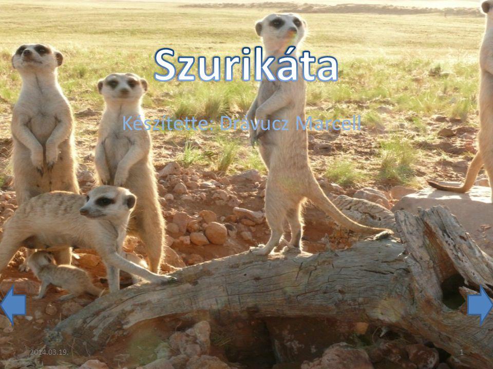 A szurikáta vagy négyujjú manguszta (Suricata suricatta) a monguzfélék (régebbi, hagyományos besorolás szerint a cibetmacskafélék) családjának monotipikus neme.