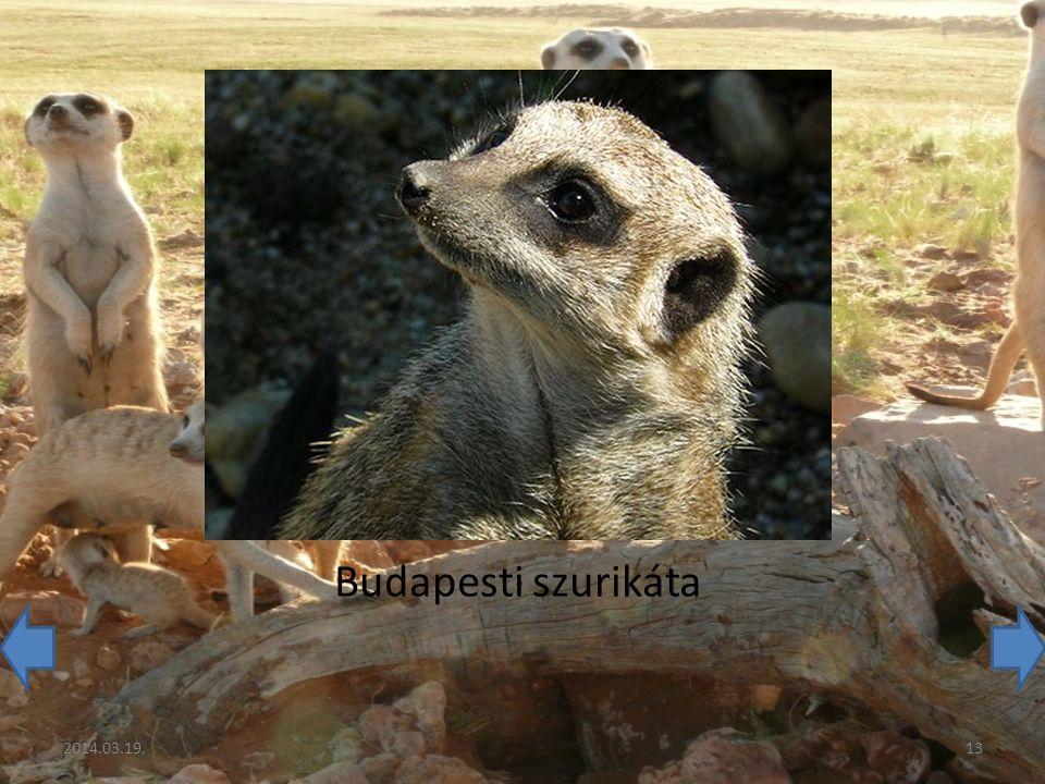 Budapesti szurikáta 2014.03.19.13
