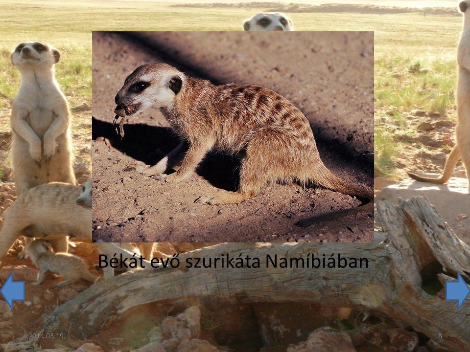 Békát evő szurikáta Namíbiában 2014.03.19.8