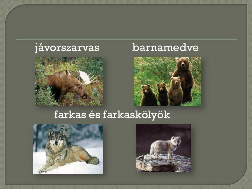 jávorszarvas barnamedve farkas és farkaskölyök