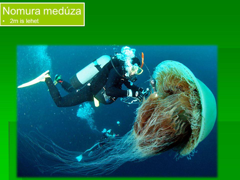 Nomura medúza 2m is lehet Nomura medúza 2m is lehet