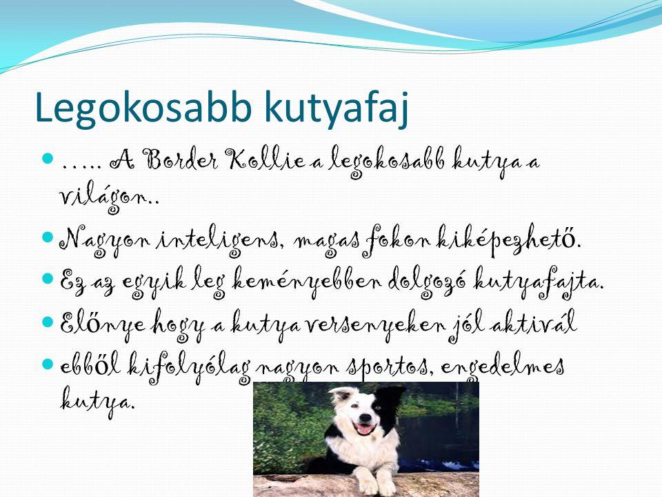 Legokosabb kutyafaj …..A Border Kollie a legokosabb kutya a világon..