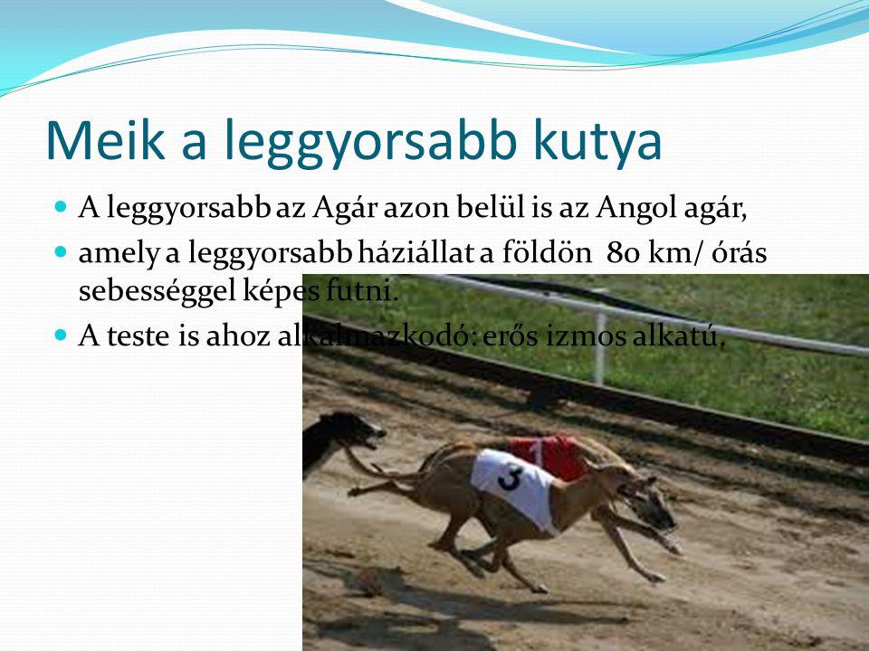 Meik a leggyorsabb kutya A leggyorsabb az Agár azon belül is az Angol agár, amely a leggyorsabb háziállat a földön 80 km/ órás sebességgel képes futni.
