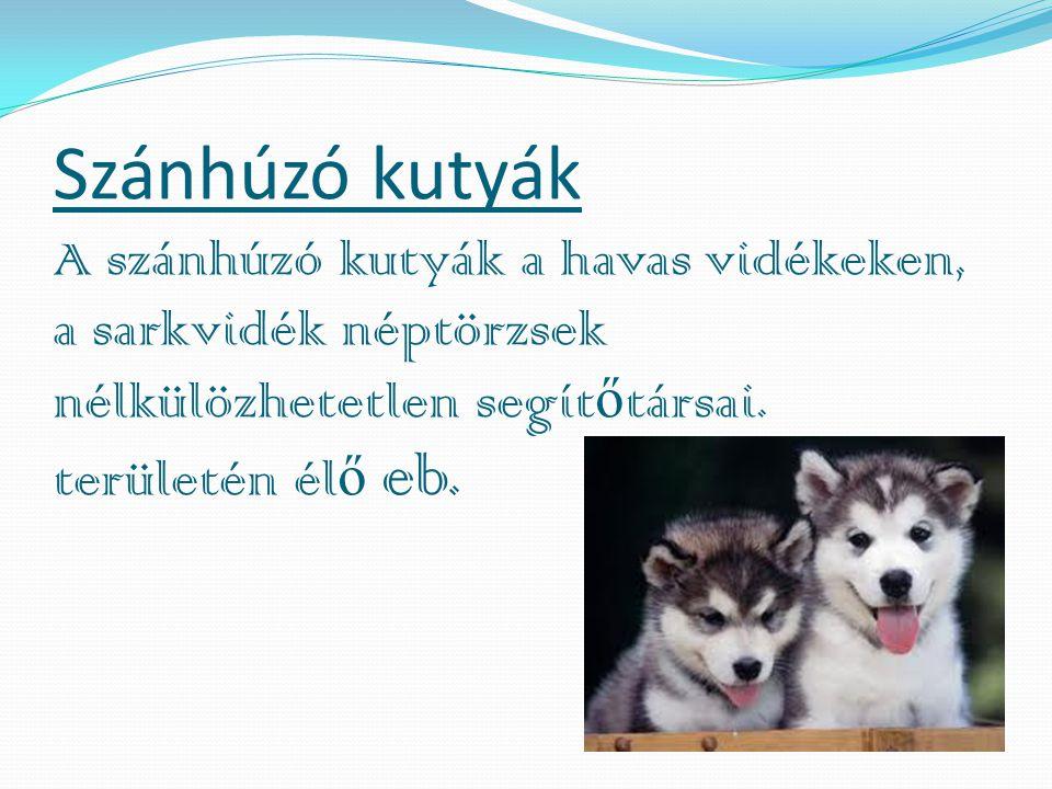 Szánhúzó kutyák A szánhúzó kutyák a havas vidékeken, a sarkvidék néptörzsek nélkülözhetetlen segít ő társai.