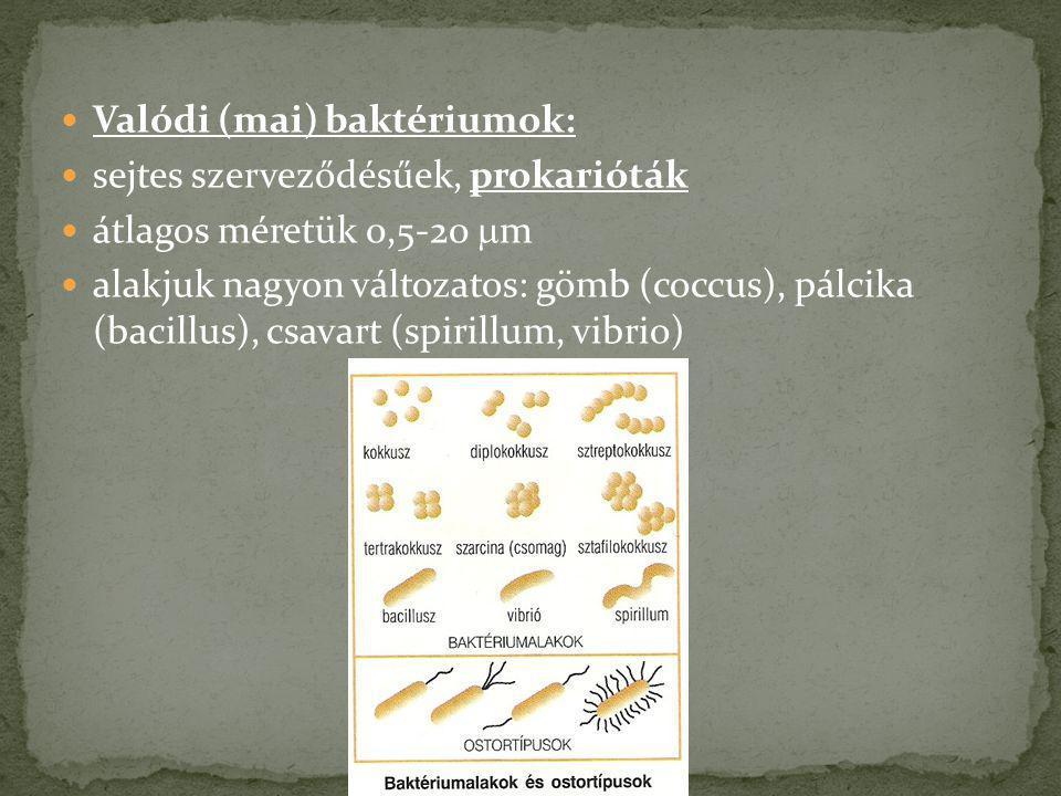 Valódi (mai) baktériumok: sejtes szerveződésűek, prokarióták átlagos méretük 0,5-20  m alakjuk nagyon változatos: gömb (coccus), pálcika (bacillus),