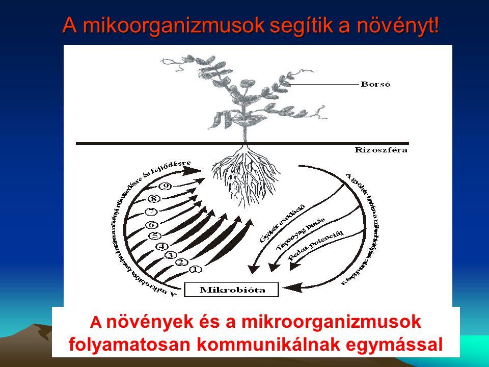 A mikoorganizmusok segítik a növényt! A növények és a mikroorganizmusok folyamatosan kommunikálnak egymással
